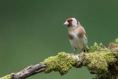 goldfinch Fotografia Stock Libera da Diritti