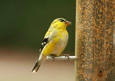 Goldfinch all'alimentatore fotografia stock
