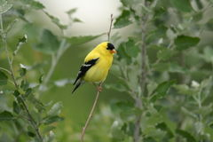 Goldfinch américain Photographie stock