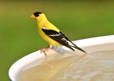 Goldfinch américain Images libres de droits