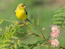 Goldfinch américain Photos stock