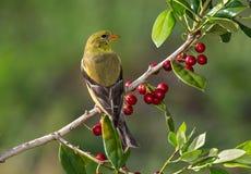 Goldfinch américain Image libre de droits