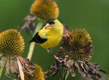 Goldfinch américain images stock