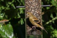 Goldfinch américain Photos libres de droits