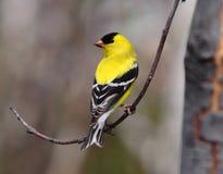 Goldfinch américain avec le fond brouillé image stock