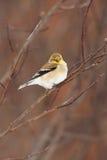 Goldfinch américain sauvage dans le plumage de l'hiver Images libres de droits