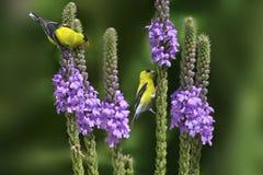 Goldfinch américain sur des fleurs Photographie stock libre de droits