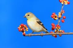 Goldfinch américain (tristis de Carduelis) Photos libres de droits