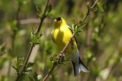 Goldfinch américain - tristis de Carduelis Images stock