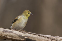 Goldfinch Royalty Free Stock Photos