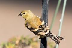 Goldfinch americano Foto de archivo libre de regalías