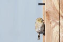 Goldfinch americano Fotografía de archivo