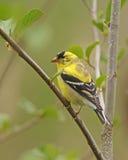 Goldfinch americano Fotografía de archivo libre de regalías