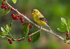 Goldfinch americano Fotografia Stock