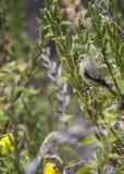 Goldfinch americano fotografia de stock