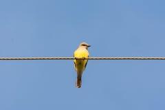 Goldfinch americano imagem de stock royalty free