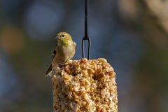 Goldfinch americano Immagine Stock