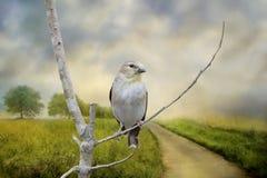 Goldfinch americano Fotos de Stock Royalty Free