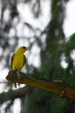 Goldfinch americano Imagen de archivo