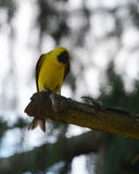 Goldfinch americano Imagens de Stock