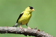 Goldfinch americano em uma filial fotografia de stock
