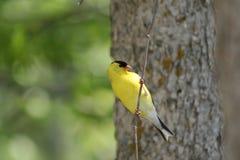 Goldfinch americano empoleirado na filial Fotografia de Stock