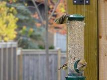 Goldfinch americano en alimentador foto de archivo