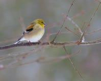 Goldfinch americano en invierno Fotos de archivo