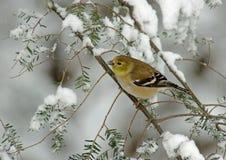 Goldfinch americano en nieve del invierno Foto de archivo libre de regalías