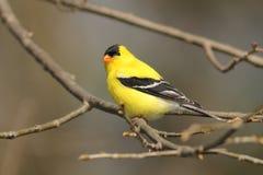 Goldfinch americano maschio Immagini Stock Libere da Diritti