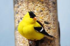 Goldfinch americano maschio Fotografia Stock