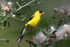 Goldfinch americano masculino Foto de Stock Royalty Free