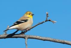 Goldfinch americano in piume di inverno in una quercia Immagini Stock
