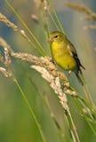 Goldfinch americano (piume femminili di estate) Immagine Stock Libera da Diritti