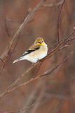 Goldfinch americano salvaje en plumaje del invierno Imágenes de archivo libres de regalías