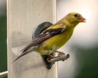 Goldfinch americano sull'alimentatore Immagine Stock