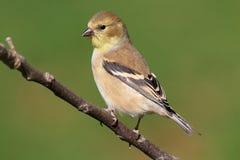 Goldfinch americano (tristis do Carduelis) fotografia de stock