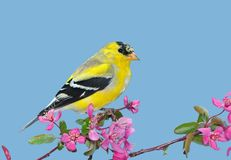 Goldfinch americano (tristis do Carduelis) Imagem de Stock Royalty Free
