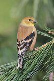 Goldfinch americano (tristis do Carduelis) imagem de stock royalty free