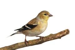 Goldfinch americano (tristis do Carduelis) fotografia de stock royalty free