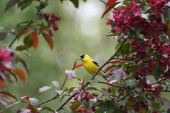 Goldfinch americano in un albero di fioritura di Crabapple Immagine Stock