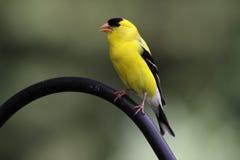 Goldfinch américain Photographie stock libre de droits