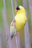 Goldfinch américain Photos stock