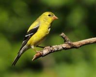 Goldfinch américain Photo libre de droits