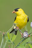 Goldfinch américain Image stock
