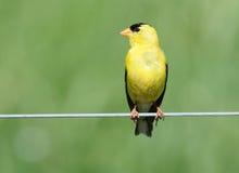 Goldfinch américain mâle Images libres de droits
