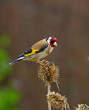 Goldfinch auf alter Karde Stockbild
