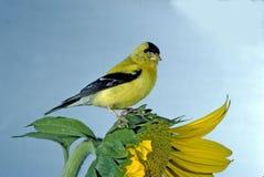 Goldfinch auf Sonnenblume Stockfotos