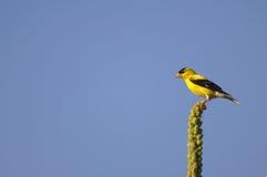 Goldfinch auf Stange stockfotos