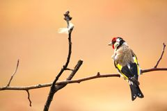 Goldfinch. A beautiful and irritated bird. Stock Image